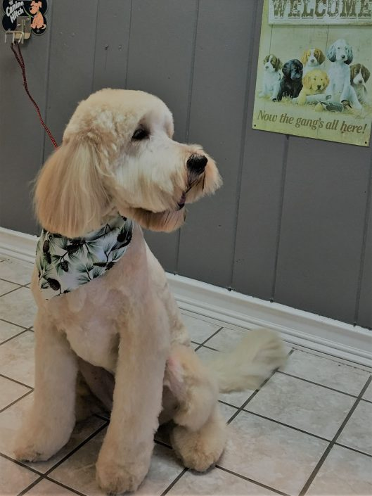 Doggie Haircut in Asheville