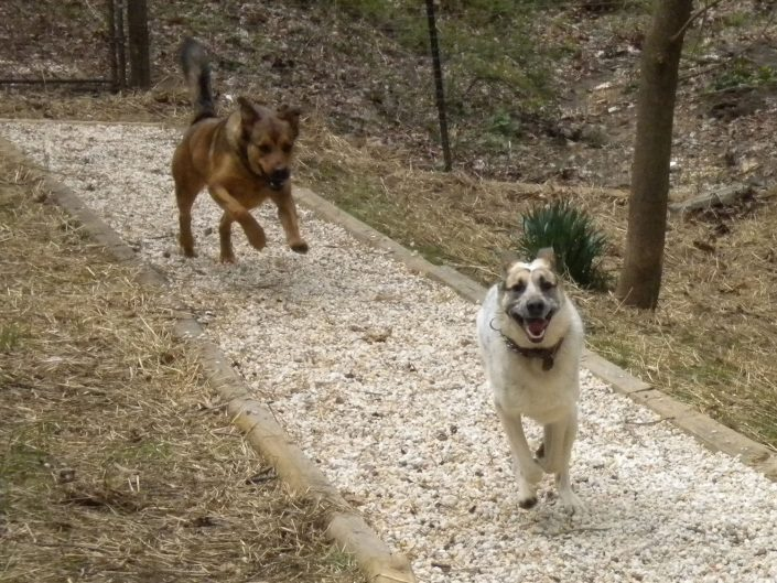 Vicus and Penny running outdoors at our doggy day care
