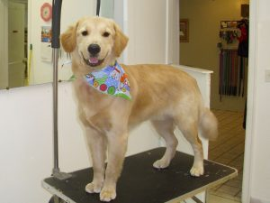 best-doggy-groomer-in-asheville-golden-retriever